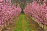 Alexandra;bloom;blooming;blooms;blossom;blossoming;blossoms;Central-Otago;country;countryside;crop;crops;Earnscleugh;farm;farming;farmland;farms;field;flower;flowering;flowers;fresh;fruit;fruit-tree;fruit-trees;grow;growth;horticulture;N.Z.;New-Zealand;NZ;orchard;orchards;Otago;pink;renew;row;rows;rural;S.I.;season;seasonal;seasons;SI;South-Is;South-Is.;South-Island;spring;spring-time;spring_time;springtime;Sth-Is;tree;trees
