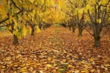 autuminal;autumn;autumn-colour;autumn-colours;autumnal;Central-Otago;color;colors;colour;colours;country;countryside;crop;crops;deciduous;fall;farm;farming;farmland;farms;field;fruit;fruit-tree;fruit-trees;golden;horticulture;leaf;leaves;N.Z.;New-Zealand;NZ;orchard;orchards;Otago;row;rows;Roxburgh;rural;S.I.;season;seasonal;seasons;SI;South-Island;tree;trees;yellow