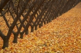 autuminal;autumn;autumn-colour;autumn-colours;autumnal;Central-Otago;color;colors;colour;colours;country;countryside;Cromwell;crop;crops;deciduous;fall;farm;farming;farmland;farms;field;fruit;fruit-tree;fruit-trees;golden;horticulture;leaf;leaves;N.Z.;New-Zealand;NZ;orchard;orchards;Otago;row;rows;rural;S.I.;season;seasonal;seasons;SI;South-Island;tree;trees;yellow
