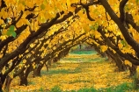 apricots;color;colour;crop;fall;farm;fruit;golden;grow;growing;horticulture;leaf;leaves;orchards;row;rows;rural;stone-fruit;yellow