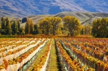agricultural;agriculture;autuminal;autumn;autumnal;bird-nets;bird-netting;Central-Otago;central-otago-vineyard;central-otago-vineyards;central-otago-wineries;central-otago-winery;color;colors;colour;colours;country;countryside;cromwell;crop;crops;cultivation;deciduous;fall;farm;farming;farmland;farms;field;fields;gold;golden;grape;grapes;grapevine;horticulture;leaf;leaves;net;nets;netting;New-Zealand;pisa-range;row;rows;rural;south-island;tree;trees;vine;vines;vineyard;vineyards;vintage;wine;wineries;winery;wines;Wooing-Tree-Vineyard;yellow