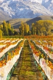 agricultural;agriculture;autuminal;autumn;autumnal;bird-nets;bird-netting;Central-Otago;central-otago-vineyard;central-otago-vineyards;central-otago-wineries;central-otago-winery;color;colors;colour;colours;country;countryside;cromwell;crop;crops;cultivation;deciduous;fall;farm;farming;farmland;farms;field;fields;gold;golden;grape;grapes;grapevine;horticulture;leaf;leaves;net;nets;netting;New-Zealand;pisa-range;poplar;poplar-tree;poplar-trees;poplars;row;rows;rural;snow;snowy;south-island;tree;trees;vine;vines;vineyard;vineyards;vintage;willow;willow-tree;willow-trees;willows;wine;wineries;winery;wines;Wooing-Tree-Vineyard;yellow