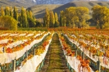 agricultural;agriculture;autuminal;autumn;autumnal;bird-nets;bird-netting;Central-Otago;central-otago-vineyard;central-otago-vineyards;central-otago-wineries;central-otago-winery;color;colors;colour;colours;country;countryside;cromwell;crop;crops;cultivation;deciduous;fall;farm;farming;farmland;farms;field;fields;gold;golden;grape;grapes;grapevine;horticulture;leaf;leaves;net;nets;netting;New-Zealand;poplar;poplar-tree;poplar-trees;poplars;row;rows;rural;South-Island;tree;trees;vine;vines;vineyard;vineyards;vintage;willow;willow-tree;willow-trees;willows;wine;wineries;winery;wines;Wooing-Tree-Vineyard;yellow