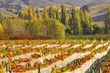 agricultural;agriculture;autuminal;autumn;autumnal;bird-nets;bird-netting;Central-Otago;central-otago-vineyard;central-otago-vineyards;central-otago-wineries;central-otago-winery;color;colors;colour;colours;country;countryside;cromwell;crop;crops;cultivation;deciduous;fall;farm;farming;farmland;farms;field;fields;gold;golden;grape;grapes;grapevine;horticulture;leaf;leaves;net;nets;netting;New-Zealand;pisa-range;poplar;poplar-tree;poplar-trees;poplars;row;rows;rural;south-island;tree;trees;vine;vines;vineyard;vineyards;vintage;willow;willow-tree;willow-trees;willows;wine;wineries;winery;wines;Wooing-Tree-Vineyard;yellow