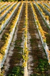 agricultural;agriculture;autuminal;autumn;autumnal;Bannockburn;bird-net;bird-nets;bird-netting;Central-Otago;central-otago-vineyard;central-otago-vineyards;central-otago-wineries;central-otago-winery;color;colors;colour;colours;country;countryside;Cromwell;crop;crops;cultivation;deciduous;Domain-Rd-Vineyard;Domain-Road-Vineyard;fall;farm;farming;farmland;farms;field;fields;grape;grapes;grapevine;horticulture;leaf;leaves;N.Z.;net;nets;netting;New-Zealand;NZ;orange;Otago;Pinot-Noir;red;row;rows;rural;season;seasonal;seasons;South-Island;vine;vines;vineyard;vineyards;vintage;wineage;wineries;winery;wines;yellow