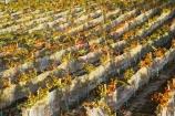 agricultural;agriculture;autuminal;autumn;autumnal;Bannockburn;bird-net;bird-nets;bird-netting;Central-Otago;central-otago-vineyard;central-otago-vineyards;central-otago-wineries;central-otago-winery;color;colors;colour;colours;country;countryside;Cromwell;crop;crops;cultivation;deciduous;Domain-Rd-Vineyard;Domain-Road-Vineyard;fall;farm;farming;farmland;farms;field;fields;grape;grapes;grapevine;horticulture;leaf;leaves;N.Z.;net;nets;netting;New-Zealand;NZ;orange;Otago;Pinot-Noir;red;row;rows;rural;S.I.;season;seasonal;seasons;SI;south-island;vine;vines;vineyard;vineyards;vintage;wineage;wineries;winery;wines;yellow