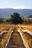 agricultural;agriculture;autuminal;autumn;autumn-colour;autumn-colours;autumnal;bird-net;bird-nets;bird-netting;Central-Otago;central-otago-vineyard;central-otago-vineyards;central-otago-wineries;central-otago-winery;color;colors;colour;colours;country;countryside;Cromwell;crop;crops;cultivation;deciduous;fall;farm;farming;farmland;farms;field;fields;golden;grape;grapes;grapevine;horticulture;N.Z.;net;nets;New-Zealand;NZ;Otago;Pisa-Range;row;rows;rural;S.I.;season;seasonal;seasons;SI;South-Is.;South-Island;tree;trees;vine;vines;vineyard;vineyards;vintage;wineage;wineries;winery;wines;Wooing-Tree-Vineyard;Wooing-Tree-Vineyards;Wooing-Tree-Winery;Wooing-Tree-Wines;yellow