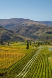 agricultural;agriculture;autuminal;autumn;autumn-colour;autumn-colours;autumnal;Bannockburn;Central-Otago;central-otago-vineyard;central-otago-vineyards;central-otago-wineries;central-otago-winery;color;colors;colour;colours;country;countryside;crop;crops;cultivation;deciduous;fall;farm;farming;farmland;farms;Felton-Road-Vineyard;Felton-Road-Vineyards;Felton-Road-Wines;field;fields;golden;grape;grapes;grapevine;horticulture;irrigation-dam;irrigation-dams;irrigation-pond;irrigation-ponds;leaf;leaves;N.Z.;near-Cromwell;New-Zealand;NZ;Otago;poplar;poplar-tree;poplar-trees;poplars;row;rows;rural;S.I.;season;seasonal;seasons;SI;South-Is;South-Is.;South-Island;Sth-Is;tree;trees;vine;vines;vineyard;vineyards;vintage;wineage;wineries;winery;wines;yellow