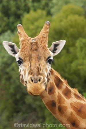 African;Baringo-Giraffe;Baringo-Giraffes;Canterbury;Christchurch;fauna;Giraffa-camelopardalis;Giraffa-camelopardalis-rothschildsi;Giraffidae;head;heads;long-neck;mammal;mammals;N.Z.;New-Zealand;Northern-Giraffe;Northern-Giraffes;NZ;Orana-Wildlife-Park;Rothschild-Giraffe;Rothschild-Giraffes;Rothschilds-Giraffe;Rothschilds-Giraffes;Rothschilds-Giraffe;Rothschilds-Giraffes;S.I;SI;South-Is;South-island;Ugandan-Giraffe;Ugandan-Giraffes;wildlife;wildlife-park;wildlife-parks;zoo;zoos