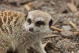 African;Canterbury;Christchurch;fauna;Grey-Meerkat;mammal;mammals;Meerkat;meerkats;mongoose;mongooses;N.Z.;New-Zealand;NZ;Orana-Wildlife-Park;S.I;SI;South-Is;South-island;Suricata-suricatta;suricate;suricates;wildlife;wildlife-park;wildlife-parks;zoo;zoos