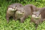 African;animals;anuimal;Aonyx-cinerea;Asian-Small_clawed-Otter;Asian-Small_clawed-Otters;Canterbury;Christchurch;fauna;mammal;mammals;N.Z.;New-Zealand;NZ;Orana-Wildlife-Park;Oriental-Small_clawed-Otter;Oriental-Small_clawed-Otters;otter;otters;S.I;SI;South-Is;South-island;three;wildlife;wildlife-park;wildlife-parks;zoo;zoos