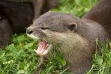 African;animals;anuimal;Aonyx-cinerea;Asian-Small_clawed-Otter;Asian-Small_clawed-Otters;Canterbury;Christchurch;fauna;ferocious;fierce;mammal;mammals;mouth;N.Z.;New-Zealand;NZ;Orana-Wildlife-Park;Oriental-Small_clawed-Otter;Oriental-Small_clawed-Otters;otter;otters;S.I;SI;South-Is;South-island;teeth;wildlife;wildlife-park;wildlife-parks;zoo;zoos