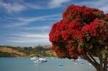 Akaroa;Akaroa-Harbor;Akaroa-Harbour;Banks-Peninsula;Canterbury;dock;docks;flower;flowers;jetties;jetty;metrosideros-excelsa;N.Z.;native;native-plant;native-plants;New-Zealand;NZ;pier;piers;plant;plants;pohutakawa;pohutakawas;pohutukawa;pohutukawa-flower;pohutukawa-flowers;pohutukawa-tree;pohutukawa-trees;pohutukawas;quay;quays;S.I.;SI;South-Is;South-Island;summer;tree;trees;waterside;wharf;wharfes;wharves