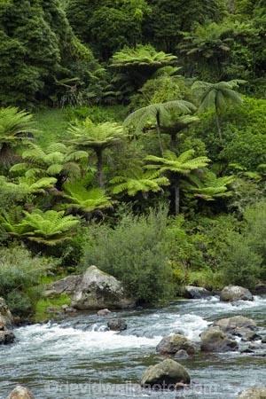 Coromandel;Coromandel-Peninsula;cyathea;fern;ferns;frond;fronds;green;Karangahake-Gorge;lush;N.I.;N.Z.;New-Zealand;NI;North-Is;North-Is.;North-Island;NZ;Paeroa;plant;plants;ponga;pongas;punga;pungas;tree-fern;tree-ferns;Waikato