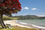 beach;beaches;Buffalo-Beach;coast;coastal;coastline;Coromandel;Coromandel-Peninsula;crimson-flower;crimson-flowers;flower;flowers;metrosideros-excelsa;N.I.;N.Z.;New-Zealand;NI;North-Is;North-Is.;North-Island;NZ;ocean;oceans;plant;plants;pohutakawa;pohutakawas;pohutukawa;pohutukawa-flower;pohutukawa-flowers;pohutukawa-tree;pohutukawa-trees;pohutukawas;red-flower;red-flowers;sand;sandy;sea;seas;shore;shoreline;summer;tree;trees;Waikato;Whitianga