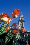 flower;flowers;garden;gardens;tulip;orange;tulips;historic;historical;architecture;flemish;clock-tower