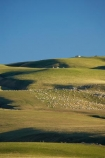 agricultural;agriculture;Animal;Animals;Central-Otago-peneplain;Clarks-Junction;country;countryside;Crowd;Crowded;Crowds;ewes;farm;Farm-animals;farming;farmland;farms;field;fields;flock;flocks;green;herbivore;herbivores;herbivorous;herd;herds;livestock;lush;mammal;mammals;meadow;meadows;mob;mobs;N.Z.;New-Zealand;NZ;Otago-peneplain;Outdoor;Outdoors;Outside;paddock;paddocks;pasture;pastures;rural;S.I.;sheep;SI;South-Is.;South-Island;stock;Strath-Taieri;uiplands;upland