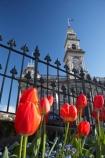 bloom;blooming;blooms;blue;building;buildings;chambers;civic-garden;civic-gardens;clear-sky;clock-tower;clocktower;council;council-garden;council-gardens;DCC;Dunedin;Dunedin-City-Council;flower;flowerbed;flowers;fresh;grow;growth;heritage;historic;historic-building;historic-buildings;historical;historical-building;historical-buildings;history;municipal;Municipal-Chambers;Municipal-Chambers-Clock-Tower;N.Z.;New-Zealand;NZ;Octagon;old;Otago;public-garden;public-gardens;red;red-tulip;red-tulips;renew;S.I.;season;seasonal;seasons;SI;sky;South-Is.;South-Island;spring;springtime;tower;towering;tradition;traditional;tulip;Tulips