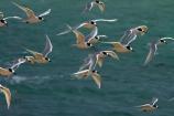 Animal;animals;Aramoana;avian;beak;beaks;bird;bird-spotting;bird-watcher;bird-watchers;bird-watching;bird_watcher;bird_watching;birds;birdwatcher;birdwatchers;birdwatching;coastal;Cormorant;Dunedin;eco-tourism;eco_tourism;ecotourism;Fauna;feather;feathered;feathers;flies;flight;fly;flying;marine;N.I.;N.Z.;native;natives;Natural;natural-history;nature;New-Zealand;NZ;ornithological;ornithology;orthnological;orthnology;Otago;Otago-Harbour;protected;S.I.;sea;sea-bird;sea-birds;sea_bird;sea_birds;seabird;seabirds;SI;South-Is;South-Is.;South-Island;Sterna-striata;Sth-Is;Tara;tern;terns;watcher;White-fronted-Tern;White-fronted-Terns;White_fronted-Tern;White_fronted-Terns;Whitefronted-Tern;Whitefronted-Terns;wild;wildlife;wing;wings