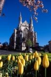 cathedral;church;Octagon;Dunedin;St-Pauls;St-Paul;St-Pauls;historic;building;clear-sky;sky;blue;blossom;tree;yellow;tulip;tulips;flower;flowers;flowerbed;garden;spring;sun;sunny;bright;pray;prayer;wedding;stone;grey