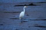 Animal;animals;Aquatic-bird;Aquatic-birds;avian;bird;bird-spotting;bird-watching;bird_watching;birds;Dunedin;eco-tourism;eco_tourism;ecotourism;Egretta-alba;endangered;estuaries;estuary;fauna;feather;feathers;heron;herons;Hoopers-Inlet;inlet;inlets;Kotuku;lagoon;lagoons;N.Z.;native;natives;Natural;Nature;New-Zealand;NZ;Ornithology;Otago;Otago-Peninsula;rare;S.I.;SI;South-Is;South-Is.;South-Island;Sth-Is;threatened;tidal;tide;Wading-bird;Wading-birds;water;white;White-Heron;wild;wildlife