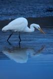 Animal;animals;Aquatic-bird;Aquatic-birds;avian;bird;bird-spotting;bird-watching;bird_watching;birds;calm;Dunedin;eco-tourism;eco_tourism;ecotourism;Egretta-alba;endangered;estuaries;estuary;fauna;feather;feathers;heron;herons;Hoopers-Inlet;inlet;inlets;Kotuku;lagoon;lagoons;N.Z.;native;natives;Natural;Nature;New-Zealand;NZ;Ornithology;Otago;Otago-Peninsula;placid;quiet;rare;reflected;reflection;reflections;S.I.;serene;SI;smooth;South-Is;South-Is.;South-Island;Sth-Is;still;threatened;tidal;tide;tranquil;Wading-bird;Wading-birds;water;white;White-Heron;wild;wildlife