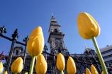Octagon;Dunedin;clocktower;clock-tower;tower;towering;municipal;chambers;Municipal-Chambers;DCC;Dunedin-City-Council;council;historic;building;clear-sky;sky;blue;yellow;tulip;tulips;flower;flowers;flowerbed;spring;sun;sunny;bright