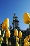 Octagon;Dunedin;clocktower;clock-tower;tower;towering;municipal;chambers;Municipal-Chambers;DCC;Dunedin-City-Council;council;historic;building;clear-sky;sky;blue;yellow;tulip;tulips;flower;flowers;flowerbed;spring;sunny;bright