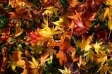 autuminal;autumn;autumn-colour;autumn-colours;autumn-tree;autumn-trees;autumnal;Botanic-Garden;Botanic-Gardens;Botanical-Garden;Botanical-Gardens;city-garden;city-gardens;color;colors;colour;colours;council-garden;council-gardens;deciduous;Dunedin;Dunedin-Botanic-Garden;Dunedin-Botanic-Gardens;Dunedin-Botanical-Garden;Dunedin-Botanical-Gardens;Dunedin-Gardens;fall;garden;gardens;leaf;leaves;Maple;maple-leaf;maple-leaves;N.Z.;New-Zealand;North-Dunedin;NZ;Otago;plant;plants;S.I.;season;seasonal;seasons;SI;South-Is;South-Is.;South-Island;Sth-Is;tree;trees