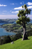 agricultural;agriculture;cabbage-tree;country;countryside;crop;crops;dunedin;farm;farming;farmland;farms;field;fields;grazing;harbor;harbours;high;highcliff-road;horticulture;meadow;meadows;new-zealand;otago-harbor;otago-harbour;otago-peninsula;paddock;paddocks;pasture;pastures;rural;scenary;scenery;scenic;sheep;south-island;tree;trees;view