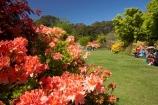 azalea;azaleas;Dunedin;Dunedin-Botanic-Garden;Dunedin-Botanical-Garden;Dunedin-Gardens;elderly-people;flower;flowers;garden;gardens;N.Z.;New-Zealand;NZ;o.a.p.;o.a.p.s;oap;oaps;old-people;Otago;pensioner;pensioners;S.I.;SI;South-Is.;South-Island;upper-garden;upper-gardens