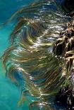 blade;blades;brown-algar;canopy;coast;kelp-bed;kelpbed;marine;ocean;Pacific;Phaeophyceae;pneumatocyst;salt-water;sea;sea-weed;sea,sea;seaweed;stem;stems;stipe;vegetation;vertical;vertically;weed