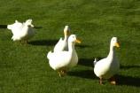agricultural;agriculture;bird;birds;country;countryside;Dunedin;farm;farming;farmland;farms;field;fields;fowl;fowls;geese;goose;grass;green;Larnach-Castle;livestock;meadow;meadows;New-Zealand;Otago-Peninsula;paddock;paddocks;pasture;pastures;poultry;poultry-farm;poultry-farming;poultry-farms;rural;water-bird;White-Goose