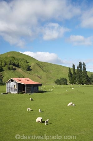 agricultural;agriculture;country;countryside;Eastland;farm;Farm-Building;Farm-Buildings;Farm-Shed;Farm-Sheds;farming;farmland;farms;field;fields;Kowhairau-Farm;lamb;lambs;meadow;meadows;N.I.;N.Z.;New-Zealand;NI;North-Is;North-Is.;North-Island;NZ;Old-Farm-Building;old-railway-shed;paddock;paddocks;pasture;pastures;rural;season;seasonal;seasons;sheep;Sheep-Shed;Sheep-Sheds;spring;springtime;State-Highway-2;State-Highway-Two;stock;Te-Karaka;Wool-Sheds;woolshed;woolsheds