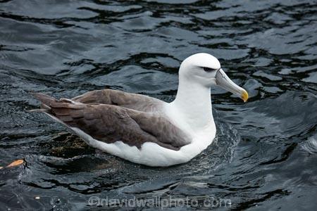 Albatross;Albatrosses;animal;animals;aquatic-bird;aquatic-birds;beak;beaks;bill;bills;bird;bird-watching;bird_watching;birds;coast;coastal;coasts;Diomedea-steadi;Diomedia-cauta;Diomedia-cauta-steadi;Diomedia-steadi;Doubtful-Sound;eco-tourism;eco_tourism;ecotourism;feather;feathers;Fiordland;Fiordland-N.P.;Fiordland-National-Park;Fiordland-NP;marine;marine-bird;marine-birds;marinebird;marinebirds;Mollymawk;Mollymawks;N.Z.;national-park;national-parks;natural-history;nature;new-zealand;New-Zealand-White_capped-Mollymawk;NZ;ocean;oceans;ornithology;pacific-ocean;S.I.;sea;sea-bird;sea-birds;seabird;seabirds;shores;Shy-Albatross;Shy-Albatrosses;SI;South-IS;South-Island;Southland;Sth-Is;Te-Waipounamu;Te-Waipounamu-World-Heritage-Site;Thalassarche-cauta-steadi;Thalassarche-steadi;UN-world-heritage-area;UN-world-heritage-site;UNESCO-World-Heritage-area;UNESCO-World-Heritage-Site;united-nations-world-heritage-area;united-nations-world-heritage-site;water-bird;water-birds;waterbird;waterbirds;White_capped-Mollymawk;White_capped-Mollymawks;wildlife;world-heritage;world-heritage-area;world-heritage-areas;World-Heritage-Park;World-Heritage-site;World-Heritage-Sites