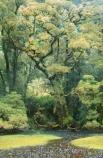 alive;beautiful;beauty;Beech-Forest;Bradshaw-Sound;bush;dripping;endemic;fern;ferns;Fiordland;fiordland-national-park;forest;forestry;forests;green;lush;majestic;middle-earth;moss;mosses;native;native-bush;natives;natural;nature;New-Zealand;Nothofagus;Precipice-Cove;rain-forest;rain-forests;rain_forest;rain_forests;rainforest;rainforests;rainsforests;scene;scenic;South-Island;south-west;south_west-new-zealand;southern-beeches;southland;stream;streams;te-wahipounamu;timber;tramp;tramping;tramps;tree;tree-trunk;tree-trunks;trees;trunk;trunks;verdant;water;wood;woods;world-hertitage-area