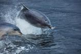 Bottlenose-Dolphin;Bottlenose-Dolphins;dolphin;dolphins;Doubtful-Sound;eco-tourism;eco_tourism;ecotourism;fiord;Fiordland;Fiordland-N.P.;Fiordland-National-Park;Fiordland-NP;fiords;fjord;fjords;jump;jumping;jumps;leap;leaping;leaps;mammal;mammals;marine;marine-mammal;marine-mammals;N.Z.;national-park;national-parks;natural;nature;New-Zealand;NZ;Patea;S.I.;sea;SI;South-IS;South-Island;Southland;splash;Sth-Is;Te-Waipounamu;Te-Waipounamu-World-Heritage-Site;Tursiops-truncatus;UN-world-heritage-area;UN-world-heritage-site;UNESCO-World-Heritage-area;UNESCO-World-Heritage-Site;united-nations-world-heritage-area;united-nations-world-heritage-site;wildlife;world-heritage;world-heritage-area;world-heritage-areas;World-Heritage-Park;World-Heritage-site;World-Heritage-Sites