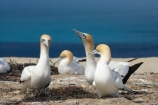 Australasian-Gannet;Australasian-Gannet-Colony;Australasian-Gannets;bird;bird-watching;bird_watching;birds;birdwatching;Cape-Kidnappers;Cape-Kidnappers-Gannet-Colony;colony;eco-tourism;eco_tourism;ecotourism;gannet;Gannet-Colonies;Gannet-Colony;gannets;Hawke-Bay;Hawkes-Bay;Hawkes-Bay;marine;Morus-serrator;N.I.;N.Z.;native;natural-history;nature;new-zealand;NI;North-Is;North-Is.;North-Island;NZ;ornithology;Takapu;wildlife