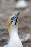 Australasian-Gannet;Australasian-Gannet-Colony;Australasian-Gannets;bird;bird-watching;bird_watching;birds;birdwatching;Cape-Kidnappers;Cape-Kidnappers-Gannet-Colony;colony;eco-tourism;eco_tourism;ecotourism;feather;feathers;gannet;Gannet-Colonies;Gannet-Colony;gannets;Hawkes-Bay;Hawkes-Bay;marine;Morus-serrator;N.I.;N.Z.;native;natural-history;nature;new-zealand;NI;North-Is;North-Is.;North-Island;NZ;ornithology;Takapu;wildlife