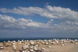 Australasian-Gannet;Australasian-Gannet-Colony;Australasian-Gannets;bird;bird-watching;bird_watching;birds;birdwatching;Cape-Kidnappers;Cape-Kidnappers-Gannet-Colony;colony;eco-tourism;eco_tourism;ecotourism;gannet;Gannet-Colonies;Gannet-Colony;gannets;Hawkes-Bay;Hawkes-Bay;marine;Morus-serrator;N.I.;N.Z.;native;natural-history;nature;new-zealand;NI;North-Is;North-Is.;North-Island;NZ;ornithology;Takapu;wildlife