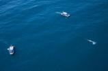aerial;aerial-photo;aerial-photography;aerial-photos;aerial-view;aerial-views;aerials;Animal;Animals;big;boat;boats;Cetacean;Cetaceans;coast;coastal;coasts;cruise;cruises;eco-tourism;eco_tourism;ecotourism;giant;gigantic;head;heads;huge;Kaikoura;launch;launches;mammal;mammals;Marine-life;Marine-mammal;Marine-mammals;Marlborough;N.Z.;nature;New-Zealand;NZ;ocean;oceans;pacific-ocean;Physeter-macrocephalus;ratural;S.I.;sea;Sea-mammal;Sea-mammals;seas;SI;South-Island;spectacular;sperm-whale;sperm-whales;tour-boat;tour-boats;tourism;tourist;tourist-boat;tourist-boats;Water;Whale;whale-watch;whale-watchers;whale-watching;whale_watch;whale_watchers;whale_watching;whales;wildlife