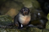 animals;Arctocephalus-forsteri;babies;baby;baby-fur-seal;baby-fur-seals;cub;cubs;Fur-Seal;fur-seal-cub;fur-seal-cubs;Kaikoura;Kaikoura-Coast;Kaikoura-Coastanimal;mammal;mammals;marine;Marlborough;N.Z.;native;natural-history;nature;New-Zealand;New-Zealand-Fur-Seal;NZ;NZ-Fur-Seal;ocean;Ohau-Point-Seal-Colony;Ohau-Stream;S.I.;sea;seal;seals;SI;South-Is;South-Island;Sth-Is;water;wildife