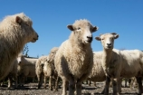 agriculture;Animal;Animals;breed;Countryside;Daytime;drysdale;drysdales;face;farm;Farm-animals;farming;farmland;farms;Farmyard;field;fields;Herbivore;Herbivores;Herbivorous;kaikoura;Livestock;Mammal;Mammals;marlborough;new-zealand;Outdoor;Outdoors;Outside;Rural;Sheep;south-island;stock;stock-yard;stockyard;wool;woolly;wooly