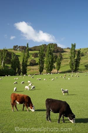 agricultural;agriculture;and;cattle;country;countryside;cow;cows;farm;farming;farmland;farms;field;fields;Fresh;green;grow;Growth;island;Livestock;Lower-North-Island;lush;masterton;meadow;meadows;N.I.;N.Z.;near;new;new-zealand;NI;north;North-Is;north-is.;north-island;NZ;o8l0943;paddock;paddocks;pasture;pastures;rural;season;seasonal;seasons;sheep;spring;springtime;stock;Tinui;wairarapa;zealand