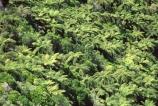 trees;wood;timber;forests;forest;native;bush;foiliage;flora;botany;fern;ferns;mamaku;black-tree-fern;punga;ponga;treefern;treeferns;tararua;tararuas;range;ranges;tararua-ranges;north-island