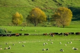 agricultural;agriculture;autuminal;autumn;autumnal;cattle;color;colors;colour;colours;country;countryside;cows;deciduous;fall;farm;farming;farmland;farms;field;fields;leaf;leaves;meadow;meadows;N.I.;N.Z.;New-Zealand;NI;North-Island;NZ;paddock;paddocks;pasture;pastures;rural;season;seasonal;seasons;sheep;stock;Tablelands;tree;trees;Wairarapa