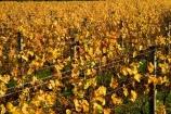 agricultural;agriculture;autuminal;autumn;autumn-colour;autumn-colours;autumnal;color;colors;colour;colours;country;countryside;crop;crops;cultivation;deciduous;fall;farm;farming;farmland;farms;field;fields;grape;grapes;grapevine;horticulture;leaf;leaves;Martinborough;Martinborough-Wineries;Martinborough-Winery;Martins-Road-Vineyard;N.I.;N.Z.;New-Zealand;NI;North-Island;NZ;orange;row;rows;rural;season;seasonal;seasons;Te-Kairanga-Vineyard;Te-Kairanga-Vineyards;Te-Kairanga-Wines;tree;trees;vine;vines;vineyard;vineyards;vintage;Wairarapa;wine;wineries;winery;wines;yellow