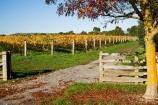 agricultural;agriculture;autuminal;autumn;autumn-colour;autumn-colours;autumnal;color;colors;colour;colours;country;countryside;crop;crops;cultivation;deciduous;East-Plain-Vineyard;fall;farm;farming;farmland;farms;field;fields;gateway;geateways;grape;grapes;grapevine;horticulture;leaf;leaves;Martinborough;Martinborough-Wineries;Martinborough-Winery;Martins-Road-Vineyard;N.I.;N.Z.;New-Zealand;NI;North-Island;NZ;orange;row;rows;rural;season;seasonal;seasons;Te-Kairanga;Te-Kairanga-Vineyard;Te-Kairanga-Vineyards;Te-Kairanga-Wines;tree;trees;vine;vines;vineyard;vineyards;vintage;Wairarapa;wine;wineries;winery;wines;yellow