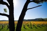 agricultural;agriculture;autuminal;autumn;autumn-colour;autumn-colours;autumnal;color;colors;colour;colours;country;countryside;crop;crops;cultivation;deciduous;fall;farm;farming;farmland;farms;field;fields;grape;grapes;grapevine;horticulture;Kotinga-Vineyard;Kotinga-Vineyards;leaf;leaves;Martinborough;Martinborough-Wineries;Martinborough-Winery;N.I.;N.Z.;New-Zealand;NI;North-Island;NZ;orange;Puruatanga-Road;row;rows;rural;season;seasonal;seasons;tree;trees;vine;vines;vineyard;vineyards;vintage;Wairarapa;wine;wineries;winery;wines;yellow