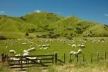 agricultural;agriculture;animal;animals;country;countryside;crowd;crowded;Crowds;domestic-stock;ewes;farm;farm-animals;farming;farmland;farms;field;fields;flock;flocks;gate;gates;gateway;gateways;herbivore;herbivores;herbivorous;herd;herds;hill;hills;livestock;Lower-North-Island;mammal;mammals;Martinborough;meadow;meadows;N.I.;N.Z.;New-Zealand;NI;North-Is;North-Island;NZ;outdoor;outdoors;outside;paddock;paddocks;pasture;pastures;rural;sheep;stock;Wairarapa;white